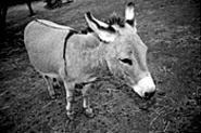 Nice ass: The odds-on favorite to win the Lorain - County Fair's donkey race (see Monday).
