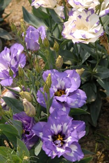 lisianthus_at_stan_hywet.jpg