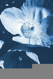 The Himalayan Blue Poppy, this year's budding star.