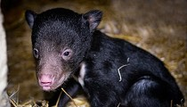 The Cleveland Metroparks Zoo Just Welcomed Its First Sloth Bear Cub in 30 Years