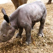 Baby Rhino Newest Addition at Cleveland Metroparks Zoo