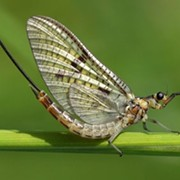 Mayflies are Swarming Cleveland, and That's Actually a Good Thing