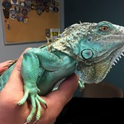 Pet Iguana Used as Weapon During Bizarre Confrontation at Painesville Perkins Will Be Reunited With Its Original Owner