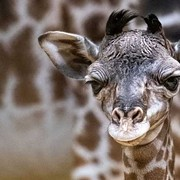 This Adorable Giraffe Was Just Born at the Cleveland Metroparks Zoo