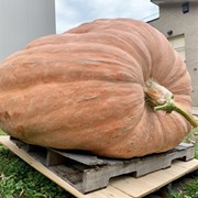 Watch These Cleveland Elephants Go Wild Over a 1,300-Pound Pumpkin