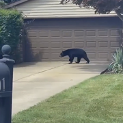 A Black Bear is Wandering Around Willoughby and Other Lake County Cities