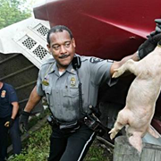 Ohio Pig Truck Overturns: Thousands of Pigs Escape, Hundreds Are Killed