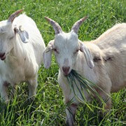 You Can Now Rent Goats in Cleveland to Take Care of Unwanted Brush
