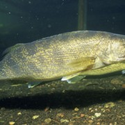 Study: Antidepressants Found in Brains of Great Lakes Fish