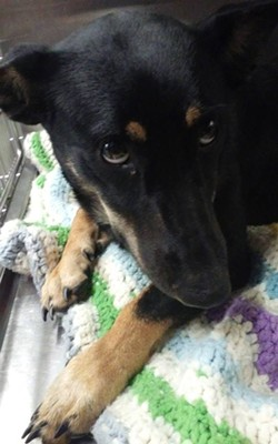 Bexy, a female shep mix, is also available for adoption. - PHOTO COURTESY NORTHEAST OHIO SPCA NO-KILL PET SHELTER/FACEBOOK