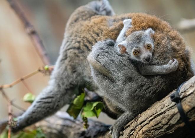 lemur_3.jpg