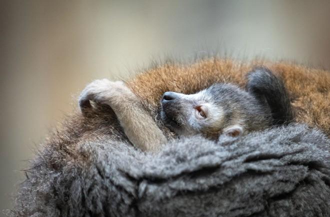lemur_2.jpg