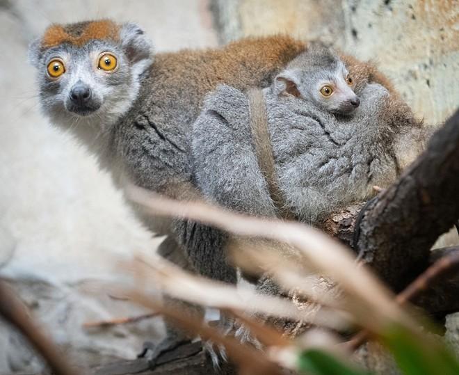 lemur_1.jpg