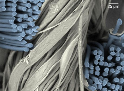 Polyester-cotton blend: Disheveled natural cotton fibers (pale) contrast with nearly identical polyester fibers (blue) in this false-color image. Polyester fibers are highly organized, mostly straight and smooth, making them less effective than cotton fibers alone in trapping nanoscale particles. - E.P. VICENZI/SMITHSONIAN MUSEUM CONSERVATION INSTITUTE AND NIST