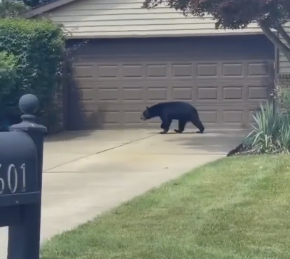 A black bear spotted earlier this year in Willoughby - FB STILL
