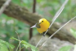 Prothonotary warbler at Magee Marsh - PHOTO BY JACK MOORE