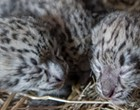 Get Ready to Cry Over the Cuteness of Cleveland Metroparks Zoo's Baby Snow Leopard Triplets
