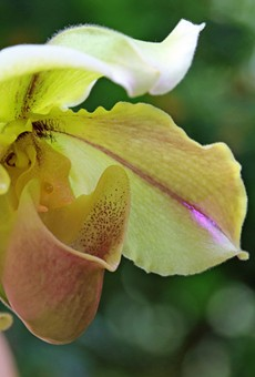 Orchids Forever Show Opens Today at Cleveland Botanical Garden