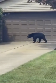 A black bear spotted earlier this year in Willoughby