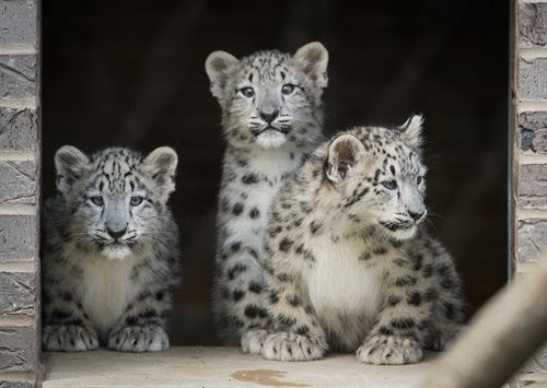 These cubs' potential names have been narrowed down to Goji, Omid, Bodhi, Zara and Nisha. - CLEVELAND METROPARKS ZOO