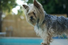 Your typical Yorkie (not the victim described herein). - SHAY SOWDEN / CREATIVE COMMONS