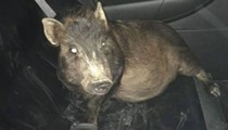 North Ridgeville Police Save Man From Persistent Pig