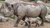 Another Adorable Baby Rhino Makes Debut at Cleveland Metroparks Zoo