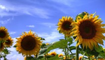 Both Maria's Sunflower Field of Hope Locations Have Bloomed in Northeast Ohio
