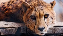 Cleveland Metroparks Board Wants to Expand Cheetah Exhibit, Repair Hinckley Dam