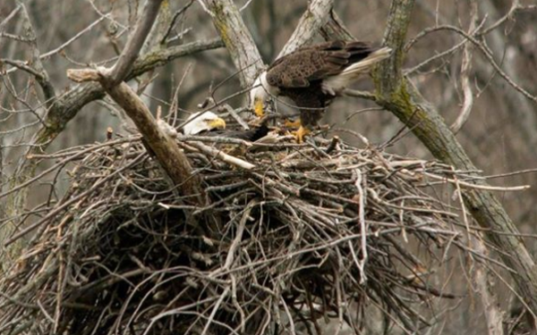 Bald Eagles Return to Cleveland for First Time in 100 Years