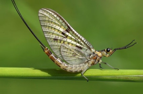 Image result for mayflies lake erie
