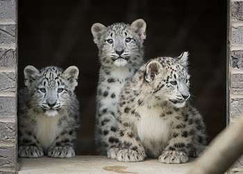 You Can Help Name a Snow Leopard Cub at Cleveland Metroparks Zoo