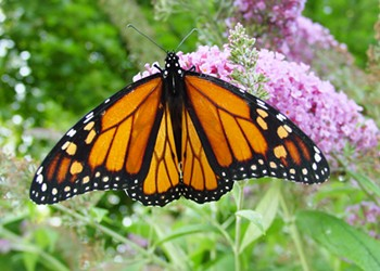 Migrating Monarch Butterflies Invade Cleveland This Month, and Here's Where to See Them