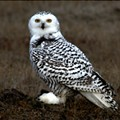 There's a Snowy Owl Population Boom in Cleveland Right Now