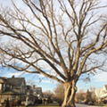 Lakewood's 250-Year-Old Moses  Cleaveland Tree Gets Cut Down