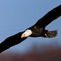 Bald Eagles Are Back to Roost in Cleveland This Season