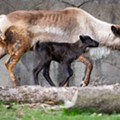 Cleveland Metroparks Zoo Keeps Bringing on the Babies, This Time With a New Reindeer Calf