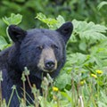 With Summer, 'Relatively Harmless' Black Bears Return to Northeast Ohio