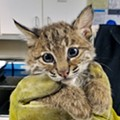 Two Adorable Rescued Bobcat Kittens Are Now Being Taken Care of in Willoughby