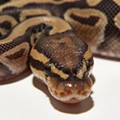 Pythons Stolen from Akron Animal Rescue Center
