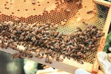08dd455a_honeybee.jpg