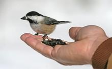 18bfec3a_chickadee_handfeeding_bcbgnp.jpg