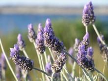 1eb2001a_lavender-close-up.jpg