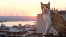 The Cinematheque shows - the documentary film Kedi. - See: Saturday.