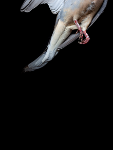 lauraruthbidwell_dove.png