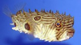 A striped burrfish at the UGA aquarium.