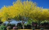 Palo Verde trees will wreak havoc on your sinuses with the same kind of power packed by Savannah's flower shower.