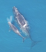 enviro-whale_with_calf.jpg