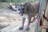 Shanti the Cougar's the new attraction at Oatland Island. Photo by John Alexander.