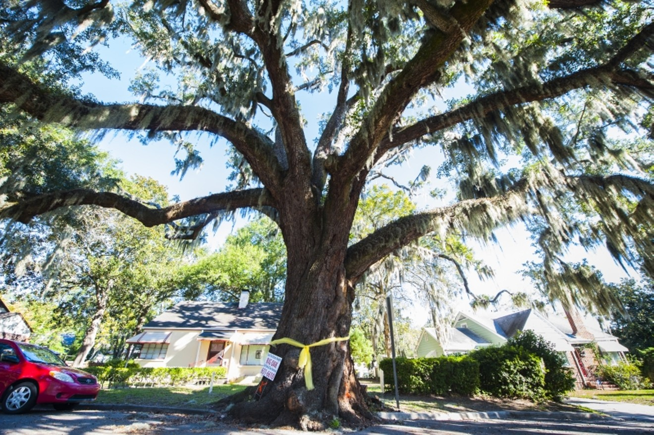 The giant live oak on E. 41st Street has seen its last days in spite of neighborhood protest. Photo by Geoff L. Johnson